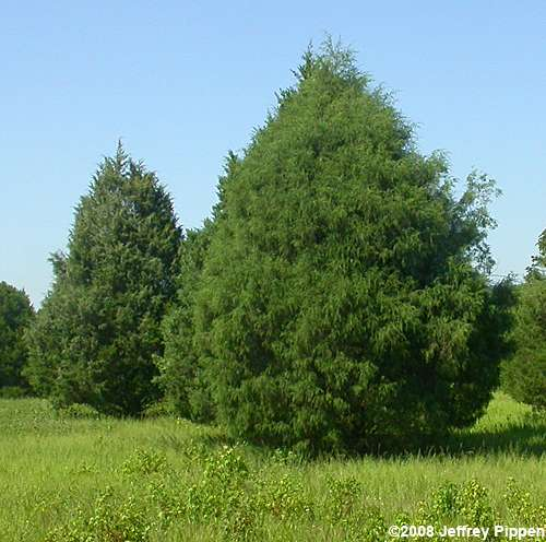 Eastern Red Cedar Varieties ~ Flora i got a taiga